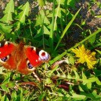Бабочка и одуванчик. :: Чария Зоя