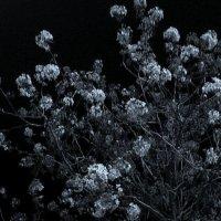 Цветущее дерево в ночи :: Алла Шапошникова
