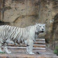 белый тигр :: Елена Резникова