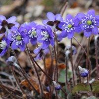 Цветы в весеннем лесу :: Mariya laimite