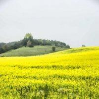 Цветущее поле :: Андрей Мичурин