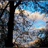 .Кружево ветвей и лазурь...весеннего... утреннего неба. :: Людмила Богданова (Скачко)