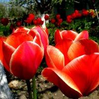 Тюльпаны... :: евгения
