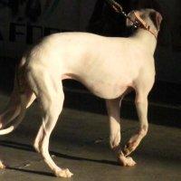 На выставке собак :: alek48s