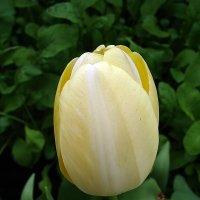 """Тюльпан """" Ivory Floradale """" :: laana laadas"""