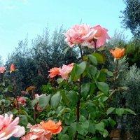 Розы :: Наталья (Nata-Cygan) Цыганова