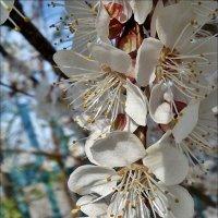 Абрикосовая гроздь :: Нина Корешкова