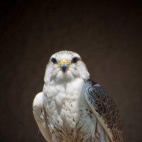 Falcon :: Petr Popov
