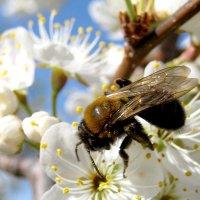пчёлка :: Мария Пашкова