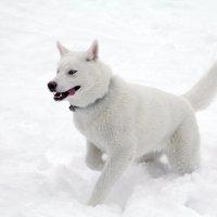 Снежный пес :: Наталья Каравай