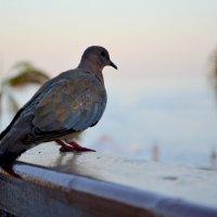 одинокий голубь... :: Любовь Смирнова