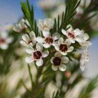 растение похожее на цветущую ель 2 :: Ефим Журбин