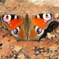 Бабочка отогревается от зимних стуж на солнышке :: Татьяна_Ш