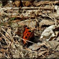 Первая бабочка :: Натали Акшинцева