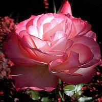 Роза :: svetlanavoskresenskaia