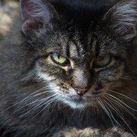 Моя любимая кошачья морда :: Ирина Приходько