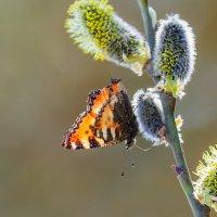 От спячки бабочки проснулись... :: Анатолий Клепешнёв