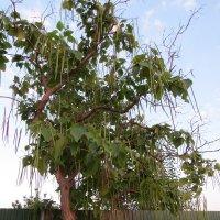Дерево с серёжками. :: Вера Щукина