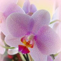 Весенняя орхидея :: Сергей Карачин