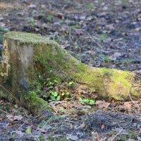 Пням еще долго снится шум листвы... :: Tatiana Markova