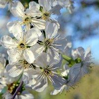 Цветение садов :: Nina Streapan