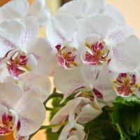 Орхидеи :: Elena Ignatova