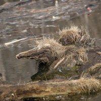 В заколдованных болотах там кикиморы живут...... :: Александр Малышев