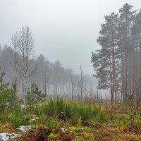Туман в лесу :: Наталья