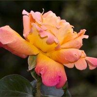 Роза :: Vanda Kremer