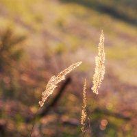 Закатное золото :: Olga Volkova
