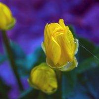 Весенний цветок.. :: Юрий Стародубцев