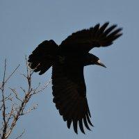 Черный ворон :: Валерий Лазарев