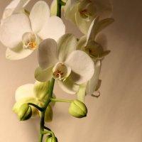 орхидея :: Ефим Журбин