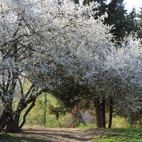 Цветущая весна :: Оля *