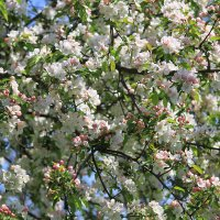 Яблоневый цвет... :: Оля *