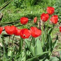 Первые тюльпаны :: Нина Бутко