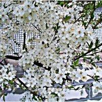 Цветение. :: Валерия Комова
