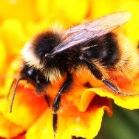 пчела :: Краснов  Ю Ф