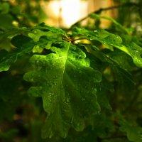 Капли дождя на листьях :: Милешкин Владимир Алексеевич