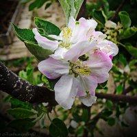 цветок яблони :: Юрий Владимирович