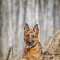 German Shepherd Dog :: Eva Lancer