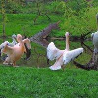 Танц пеликанов :: Anna L