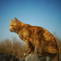 Янтарный кот :: Jeni -