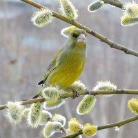 Весна и зеленушка. :: Hаталья Беклова