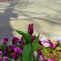 Пора тюльпанов :: Наталья Джикидзе (Берёзина)
