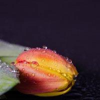тюльпан :: Pelagey