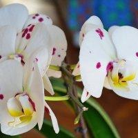 Дома расцвели орхидеи :: Ростислав