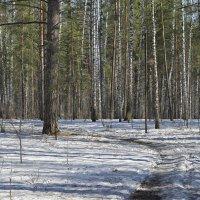 Весенний лес :: Дмитрий Конев