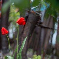 Апрельские тюльпаны :: Таня Харитонова