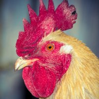 Петушок - красный гребешок :: Maxim Yashkov